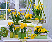 Narcissus (Narcissus), Primula acaulis