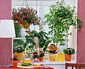 Kalanchoe in planters and as hanging basket