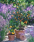Fortunella japonica (Kumquat), Citrofortunella microcarpa