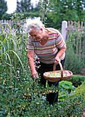 Woman reaping ribes uva-crispa (gooseberries)