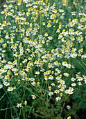 Chamomilla (chamomile) in the meadow
