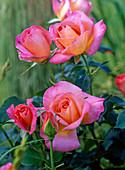 Pink 'Inspiration' (Edelrose) budding, more flowering, no scent
