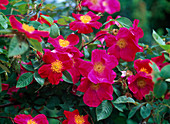 Rose 'Scarlet Glow', robust, once flowering