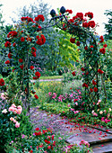Rose bow with pink 'Santana' (climbing rose)