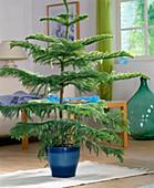 Araucaria heterophylla (Araucaria, room fir)