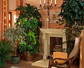 Room trees, Ficus benjamina 'Variegata'