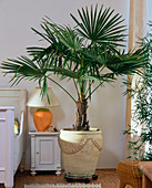 Chamaerops humilis (dwarf palm) in front of white wall