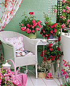 Rosa 'Bad Birnbach', 'Knirps' (Groundcover Rose), often flowering