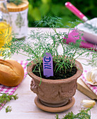 Dill sowing with seed disc