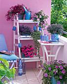 Lobelia Hot 'Lilac' 'Blue with Eye' 'Pink Star' (Male Loyalty)