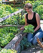 Woman harvesting lactuca (lettuce) in cold frame