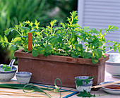Sow Asian salads with seed tape