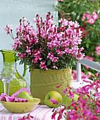 Gaura 'Lillipop pink' (superb candle)