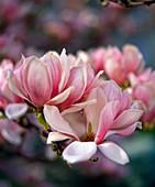 Magnolia X soulangiana (Tulip Magnolia)