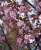 Prunus serrulata 'Kanzan' (Clove Cherry)