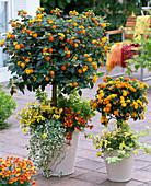 Lantana 'Sunkiss', large and small stem