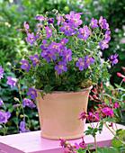 Geranium pratense 'Johnson's Blue'