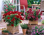 Pelargonium grandiflorum Aristo 'Red Velvet', 'Beauty'