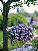 Pelargonium Pac Angeleyes 'Light' (Angel Geranium)
