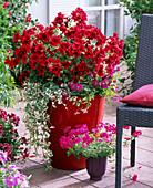 Pelargonium grandiflorum Aristo 'Red Velvet'