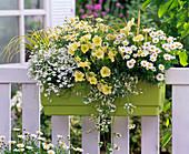 Argyranthemum frutescens (Margeriten), weiß und gelb, Lobelia