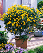 Euryops chrysanthemoides (yellow marguerite) underplanted