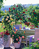 Rose terrace with Rose 'Golden Celebration'