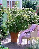Rosa multiflora, wild rose, once flowering, fragrant