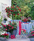 Pink 'crown jewel' (bed rose) on stem, pink 'Paul Cezanne'
