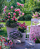 Rose 'Geoff Hamilton' (English rose) by David Austin,