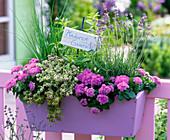 Lavandula, Aloysia, Allium