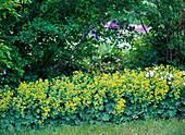 Alchemilla (lady's mantle) as a marginal plant under shrubs