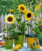 Helianthus in planters decorated with grass wreath