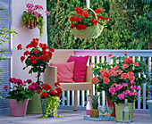 Geranium balcony with standing geraniums in different colors