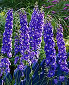 Delphinium elatum 'Bluebird' (Larkspur)
