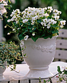 White ceramic planter with Viola sororia 'Alba'