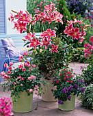 Aroma arrangement, Lilium 'Stargazer', very fragrant, pink
