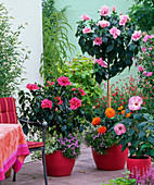 Hibiscus rosa-sinensis (Rosemary), planted with Dahlia