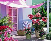 Fragrance terrace lilium 'Stargazer', very fragrant, pink