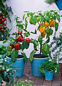 Capsicum 'Multi', 'Nazar' (Sweet Pepper) yellow and red