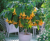 Datura 'Estella' (angel trumpet) with yellow flowers