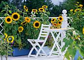 Sunflower balcony