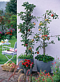 Malus Ballerina 'Polka' and Malus 'Raika' (apple), apple trees