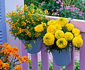 Tagetes erecta 'Antigua Yellow' and tenuifolia 'Luna Golden Yellow'