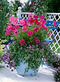 Cosmos sonata 'Pink' (Daisies), Nemesia kaboutertjes