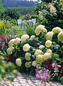 Hydrangea arborescens 'Annabelle' (shrub hydrangea)