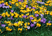 Crocus, yellow and purple, in the meadow