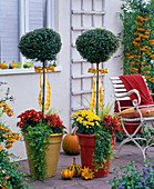 Buxus (box, stem) planted with chrysanthemum