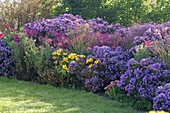 Autumn bed with aster (autumn chest) in blue, pink and purple