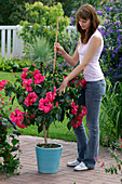 Young woman stabilising hibiscus rosa-sinensis (rose marshmallow) with stick